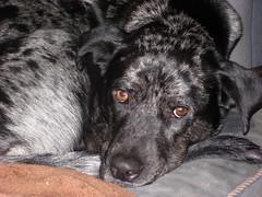 IMG_0472 (tjmorrison2) Tags: mydog niles catahoula