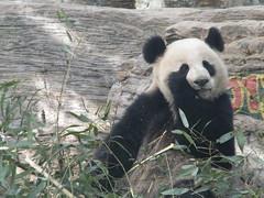 Giant Panda 03