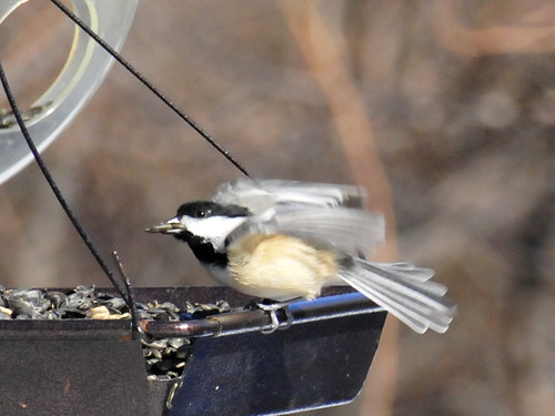 chickadee close up 5