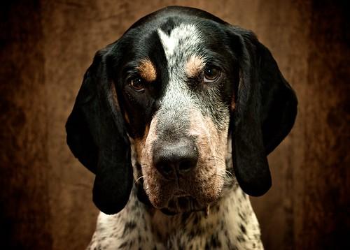 フリー画像| 動物写真| 哺乳類| イヌ科| 犬/イヌ| ブルーティック・クーンハウンド|      フリー素材|