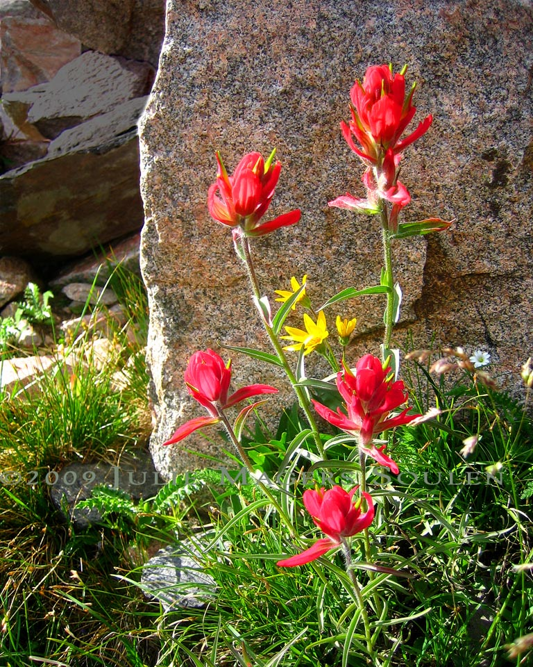 This bright and cheery photo of Indian Paintbrush was taken in Colorado's remote high country near Ruby Jewel Lake at an elevation of 11,000 feet.