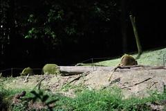 030310 - day 3 - night safari singapore zoo (33) (nate.cho) Tags: zoo singapore singaporezoo nightsafari