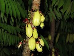 Bilimbi (pancy98) Tags: fruit canons90