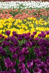 DSC_0027 (i-hun) Tags: tulips laleler sekapark