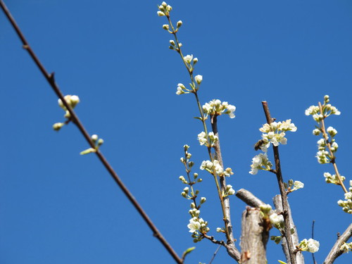 The Plum tree is blooming