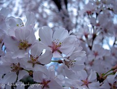 Gaiety is the most outstanding feature.... (itucker) Tags: pink macro cherry blossom bokeh raulstonarboretum hppt
