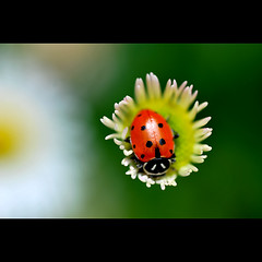 just for a moment (Sarah P) Tags: stilllife color macro nature garden insects ladybugs cmwdred physis sarahp