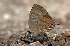 Jamides celeno - the Common Cerulean (dry season form) (BugsAlive) Tags: butterfly mariposa papillon farfalla schmetterling бабочка conbướm ผีเสื้อ animal outdoor insects insect lepidoptera macro nature lycaenidae jamidesceleno commoncerulean polyommatinae wildlife doisutheppuinp chiangmai liveinsects thailand thailandbutterflies ผีเสื้อฟ้าวาวสีต่างฤดู