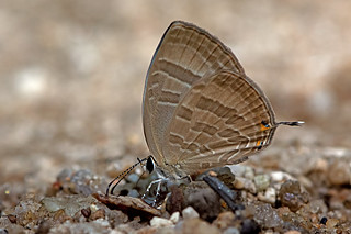 Jamides celeno - the Common Cerulean (dry season form)