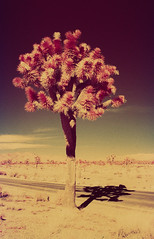 Infrared Joshua Tree II (carlfieler) Tags: infrared aerochrome 35mmfilm analog joshuatree california desert nature landscape canona1 28mmlens