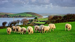 Sheep Grazing - Camel Estuary, Padstow, Cornwall. (john lunt) Tags: sheep ewes flock green grass sea water camel estuary padstow rock cornwall winter animal livestock grazing feeding farm field farming agriculture agricultural countryside rural outdoors fresh freshness idyllic beautiful horizontal panorama landscape colour color hdr tonemapped johnlunt john lunt nikon d810 85mm f14 prime lens coast coastal