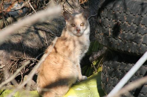 Buff Beige Cat au Naturale