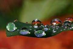 regentropfen auf Blatt 1 (Bilderschreiber) Tags: wet water rain leaf drops wasser tropfen nass