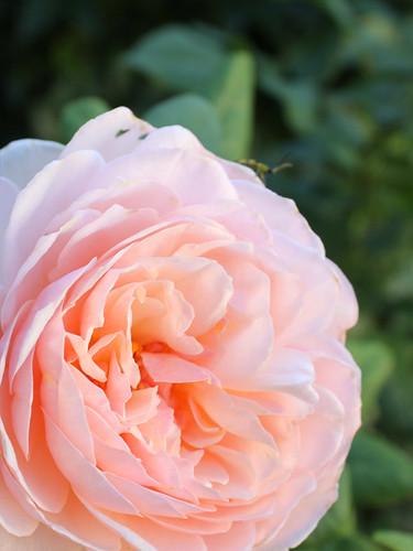 rose for proper i.d.