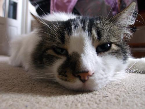 Diesel Cat