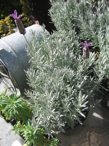 Lavandula and Euphorbia