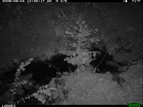 black opossum