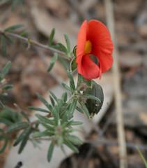 20091104_4621 Dwarf Bush Pea - Pultenaea humilis (williewonker) Tags: red four petals nationalpark bush dwarf 4 australia grampians victoria humilis pea wildflower glower gariwerd pultenaea