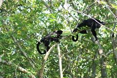 Howler Monkeys (davecurry8) Tags: yaxchilan howlermonkey usumacintariver