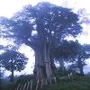 中國歷代神木群