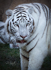 White Tiger (FLPhotonut) Tags: blueeyes tiger whitetiger buschgardenstampa canon50d flphotonut