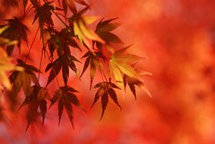 autumn brush (*suika *) Tags: orange momiji dazzler autumlight decemberhascome takennovember232009 ineedtochasethetimewithcamerap