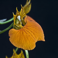 Dancer in the dark (dolorix) Tags: orchid flower nature natur orchidee blume bej abigfave anawesomeshot diamondclassphotographer flickrdiamond comparettiaspeciosa