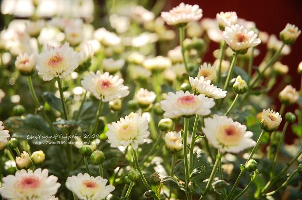 2009士林官邸菊展20.jpg