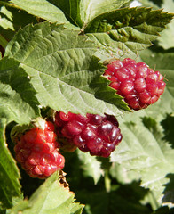Unripe Blackberries by katiealley on Flickr