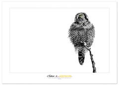 Northern Hawk-Owl (Imapix) Tags: canada bird art nature animal canon photography photo foto photographie quebec québec owl oiseau chouette imapix northernhawkowl gaetanbourque abigfave chouetteépervière vosplusbellesphotos
