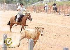 IMG_6106 (Edu Rickes) Tags: brazil horses brasil caballos cow cavalos rs riograndedosul sul tradicionalismo rodeio gaúchos beautifulshots piratini gineteada brazilianphotographers fotógrafosbrasileiros tirodelaço todososdireitosreservados fotógrafosgaúchos culturagaúcha edurickes belasimagens southofbrasil edurickesproduçõesfotográficas copyright©2010 fotografiaslegais