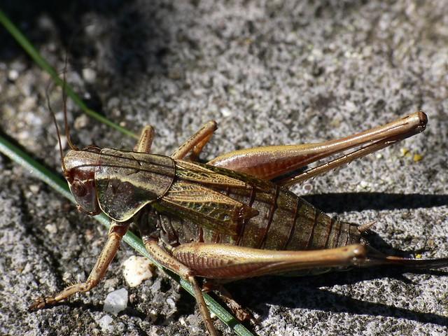 Female Roesel's Bush Cricket