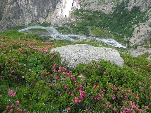 Blume / Flower : Alpenrosen + Tal des Triftwassers bei der Triftbrücke , Kanton Bern , Schweiz