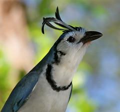 [フリー画像] [動物写真] [鳥類] [野鳥] [カンムリサンジャク] [青い鳥]      [フリー素材]
