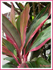 Cordyline terminalis or C. fruticosa (pink/maroon/green/white), in the neighbourhood
