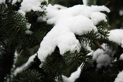 snow on the pine tree