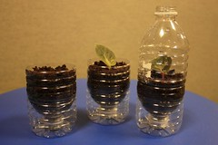 Water Bottle Pots (2) (joeysplanting) Tags: africanviolet waterbottle avc01 waterbottlepots africanviolet10031 africanviolet10032 avc02