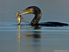 20100313_5805 (Lino Sgaravizzi ) Tags: natura uccelli cormorano specanimal