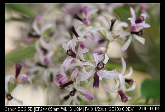 20100319F8新竹市的苦楝花