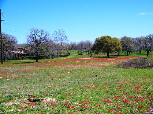 Red field of flowers