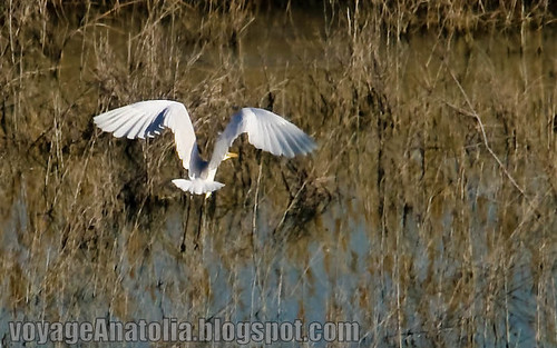 Flight of Great White Egret by voyageAnatolia.blogspot.com