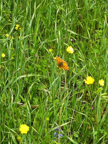 butterfly and buttercups