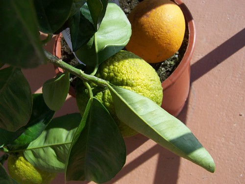 Oscar the Orange Tree