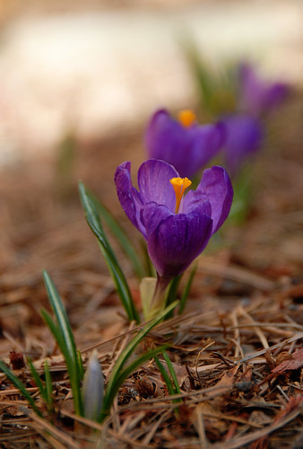 Beauty day 17: crocus