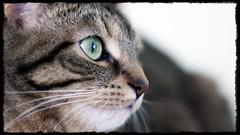 Watching The World (Matt Lazzarini) Tags: pet toronto ontario canada animal cat canon 50mm eyes kitten feline f14 kitty olympus panasonic cleo household 43 fd scratchingpost m43 gh1 e520