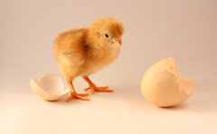 [フリー画像] [動物写真] [鳥類] [鶏/ニワトリ] [ヒヨコ] [雛/ヒナ]      [フリー素材]