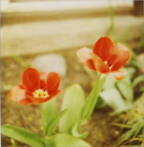 the neighbor's tulips