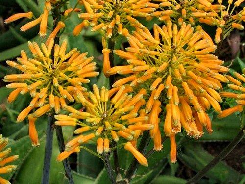 20100415-rq-quintavigia-04-Aloe capitata