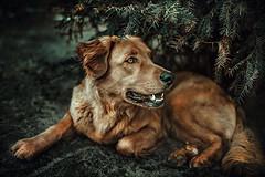 Explore Thank You!:) (•:*´¨`*:•.☆Diℓeyℓα ☆•:*´¨`*:•) Tags: dog animal animaleyes 35mm mydog hungary lookslikefilm dof vsco vscofilm