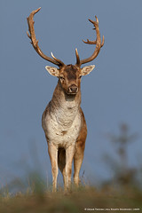 The Fallow Deer Revisited (Edgar Thissen) Tags: nature wildlife thenetherlands deer fallowdeer hert naturesfinest damhert amsterdamsewaterleidingduinen edgarthissen specanimal 7d0645